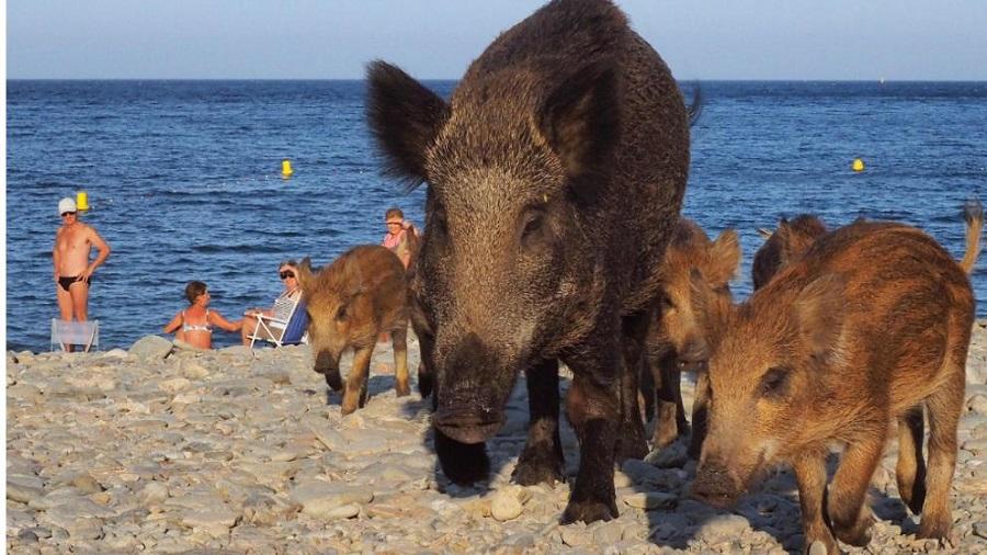 Кабаны на пляже