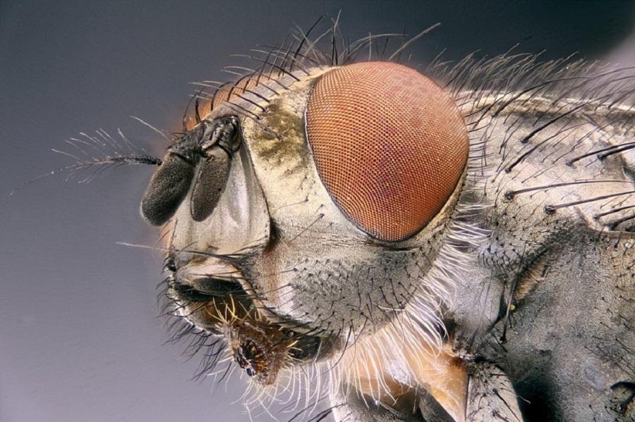 картинка как выглядит муха под микроскопом для тех