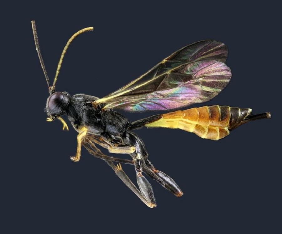 Ichneumonidae spec.