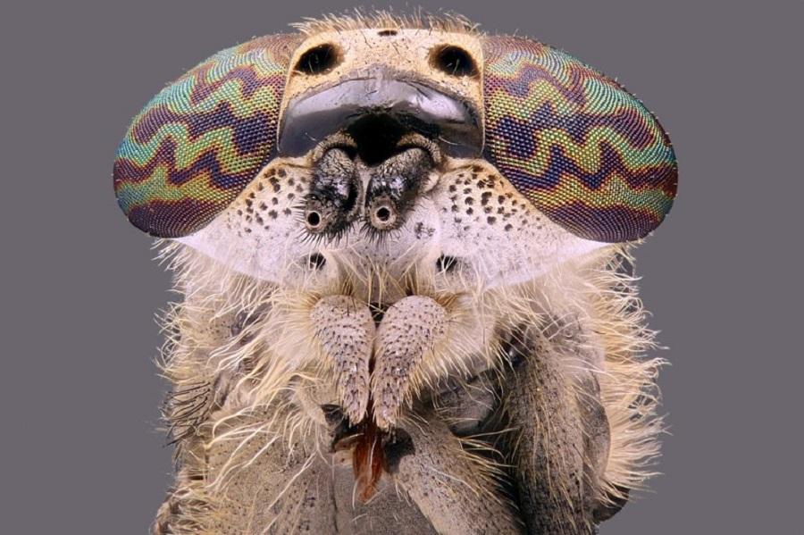 Haematopota pluvialis